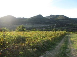 Vineyards in the afternoon